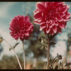 Dahlia's  - 3rd Ave Park - North Battleford.  North Battleford.  09/12/1943