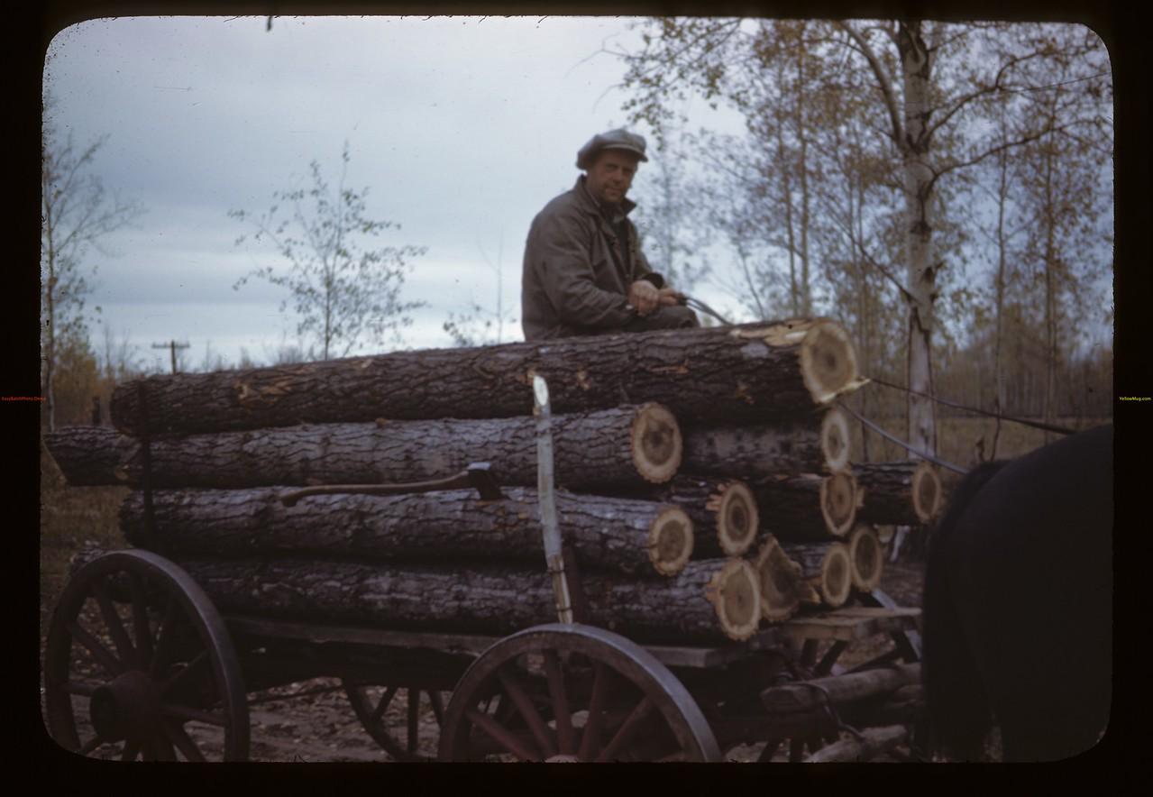 Hauling black poplar logs. Algrove. 08/26/1946
