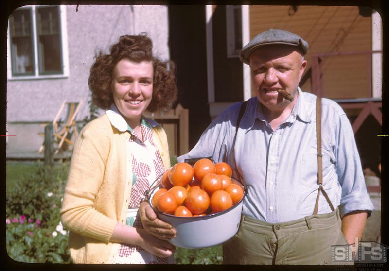J. L. Sutherland with tomato harvest - 2174 Argyle Street.  Regina.  09/01/1946