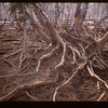 Hogs Disclose Birch Roots	 Loon Lake	 04/30/1944