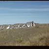 Mrs. Picklyk's geese Gronlid 09/27/1946