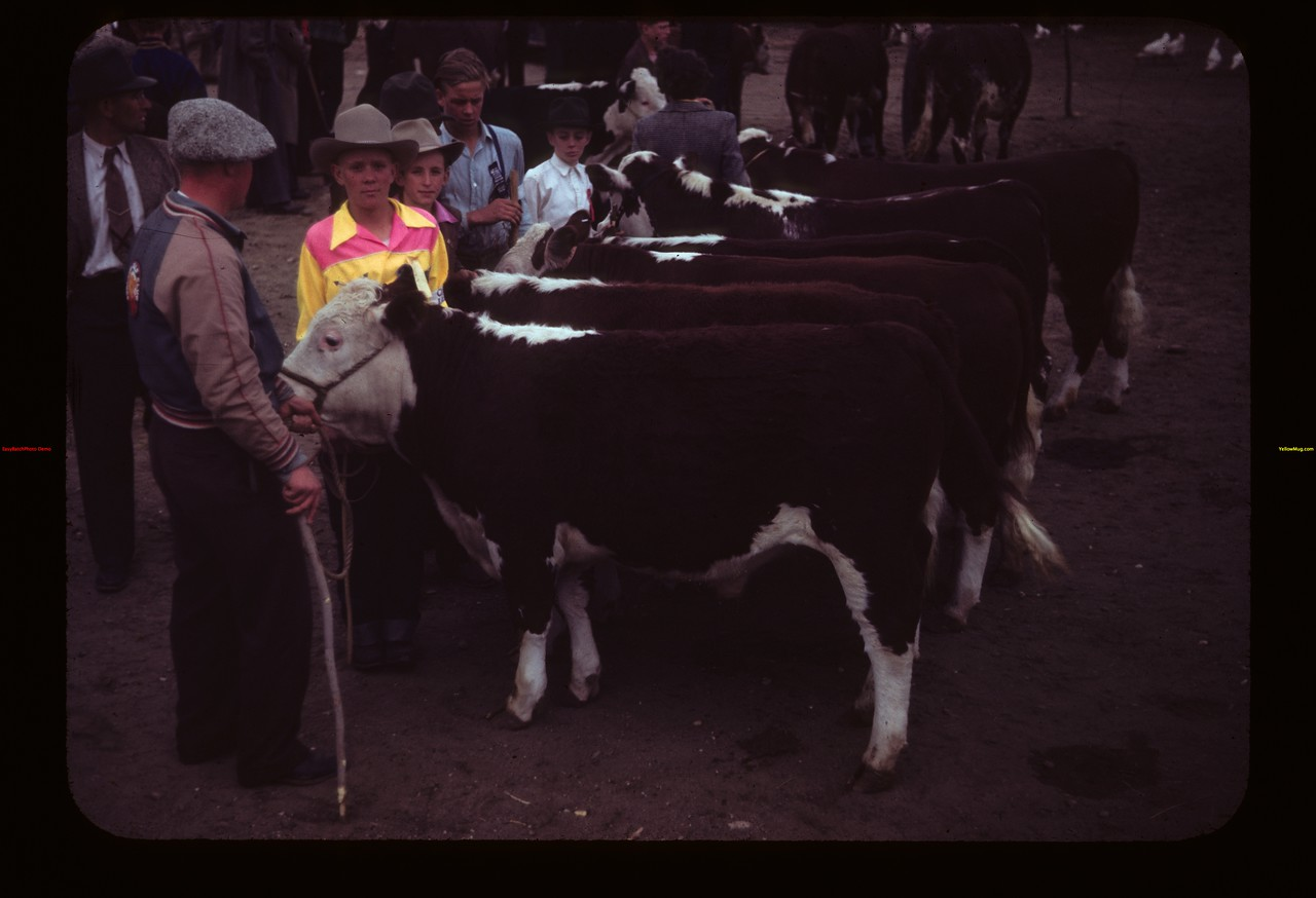 Calves lined up for showing at Malcolm McTaggart's Ferland 06/17/1949