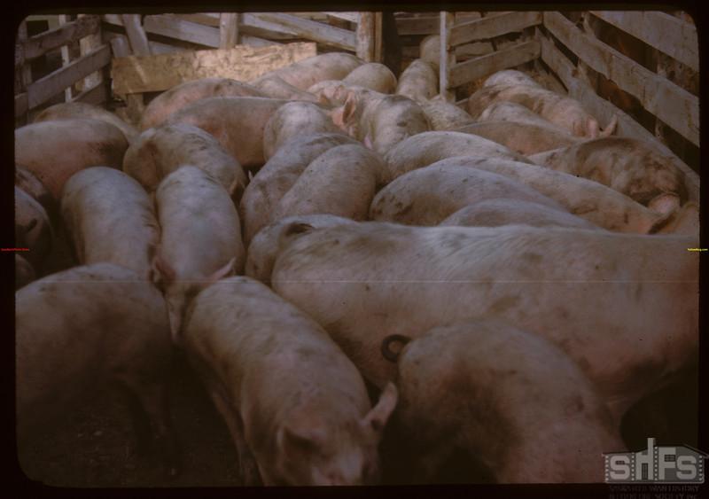 Through the alleys - loading Pool hogs..  North Battleford.  10/07/1946