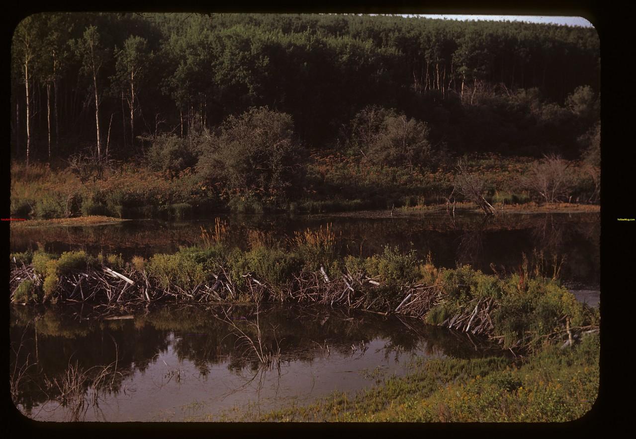 Beaver dams - Cypress Hills Park Cypress Hills 08/28/1948