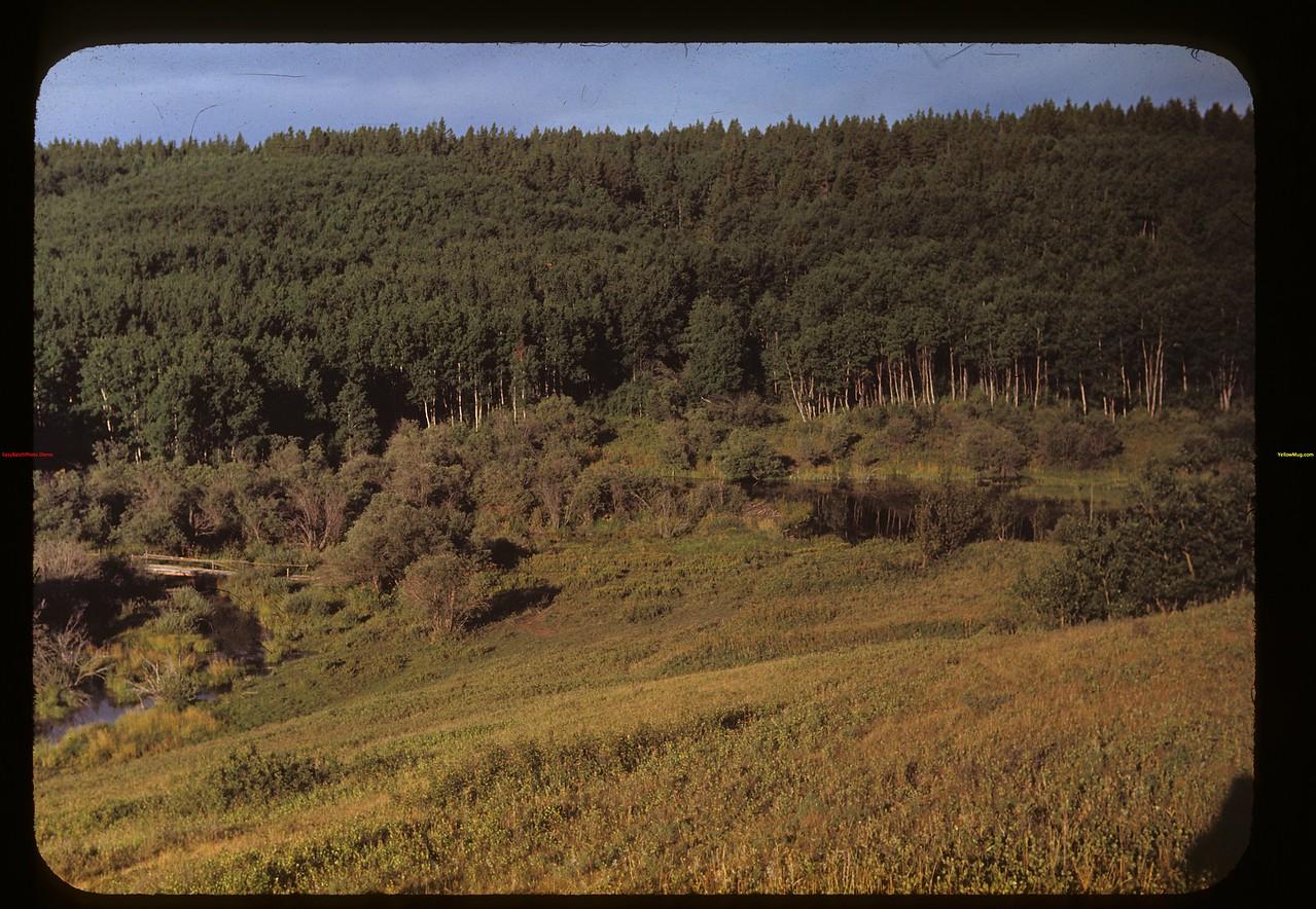 Effect of beaver lumbering Cypress Hills 08/28/1948