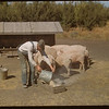Ross Duncan feeding pigs.  North Fork.  09/02/1948