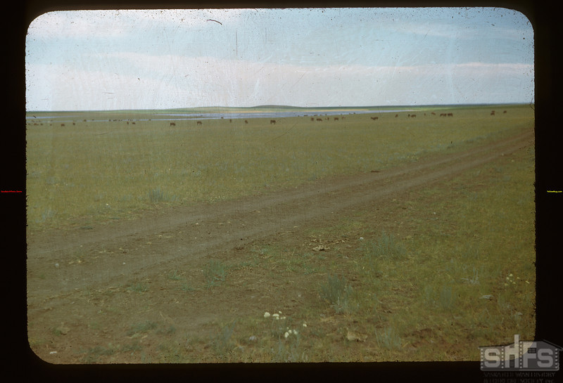 Cattle on Matador Range Matador 07/07/1948