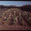 Elcid Dumont's rows of gladiolas..  Ponteix.  08/11/1949