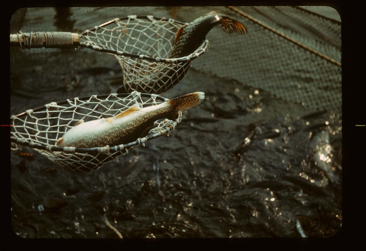 Spawning nets Makwa Narrows Loon Lake 04/28/1944