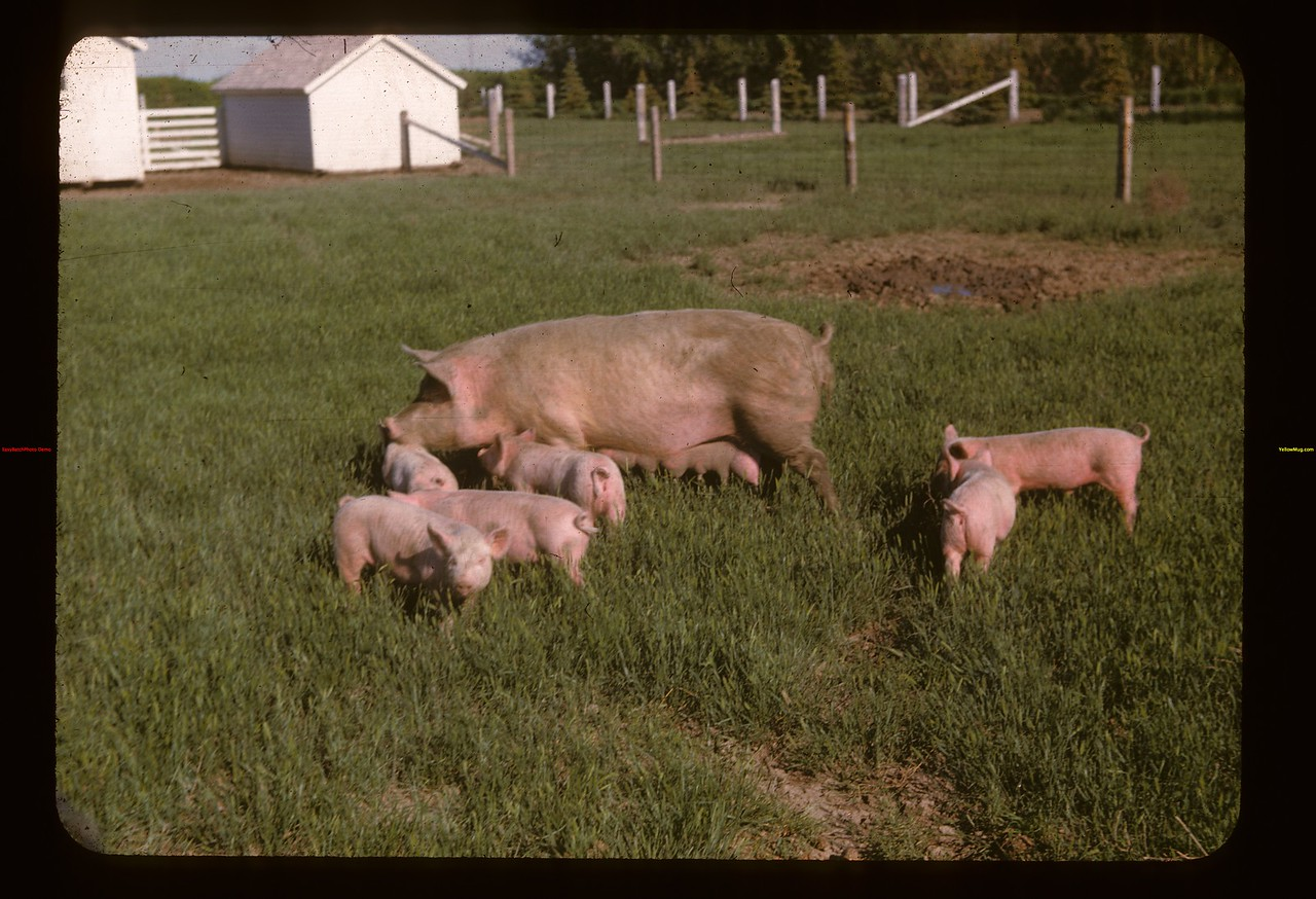 Pinesnault pigs	 Gravelbourg	 06/11/1947