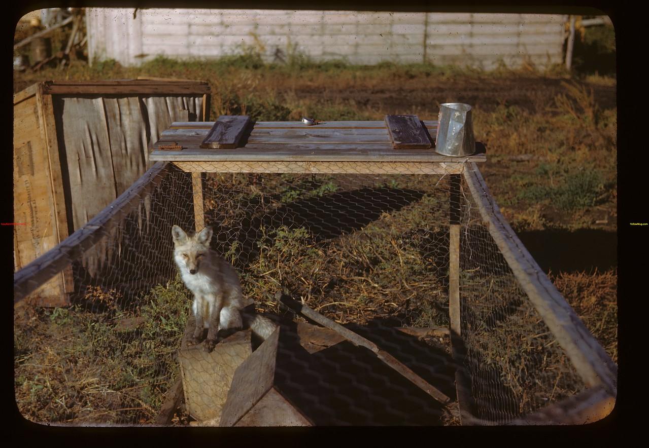 Captive fox pup. Melfort 09/25/1946
