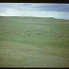 Co-op Sheep Association sheep on provincial range..  Eastend.  07/19/1950