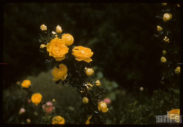 Nylunds Roses.  Shaunavon.  07/01/1957
