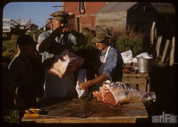 Beef ring.  Bagging the beef. Shaunavon	 08/26/1950