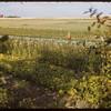World Wheat Kings garden..  Shaunavon.  09/08/1952