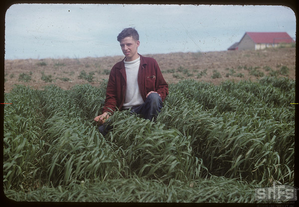 Jack Large standing in his variety test plot.  Shaunavon.  07/10/1954