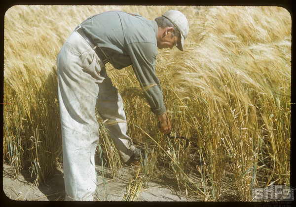 Harvesting heads with sickle at the Experimental Farm.  Swift Current.  08/19/1954
