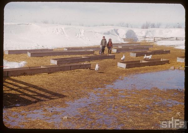 Sheep feeding yards.  Shaunavon.  03/26/1951