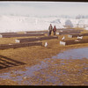 Sheep feeding yards.  Shaunavon.  03/26/1951