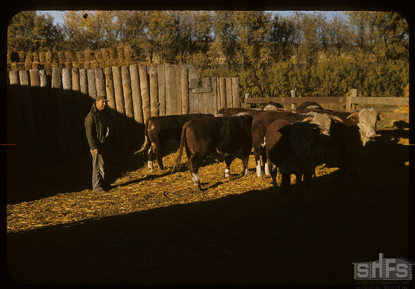 Cattle on Dick de Cock's old place.  Wood Mountain.  09/25/1957