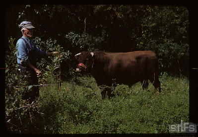 "Charles Cooper and ""Braeburn Ideal""; from Stanley Douglas's dispersal sale in March - 95 years of Shorthorn breeding, Admiral, 08/26/1950"