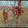 Buffalo berries near White Mud River - J. E. McNabb ranch.  Val Marie.  10/31/1951