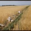 Bundling test grain - Experimental Farm.  Swift Current.  08/05/1957