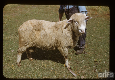 Charles Cooper's romadale ram - type brought from New Zealand by L. B. Thompson. Admiral. 08/26/1950