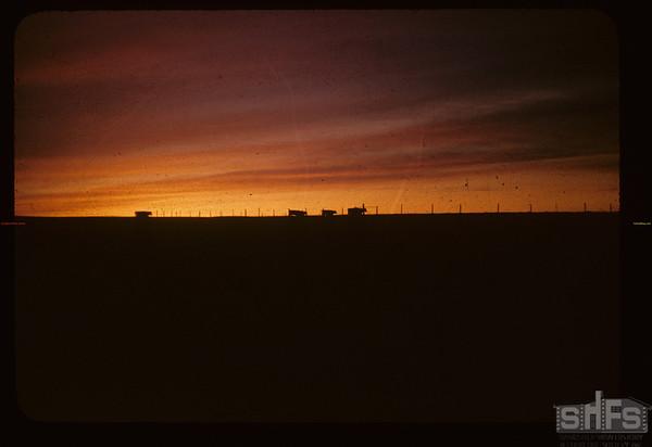 The lowing herd. [sunset]. Mankota. 04/16/1955