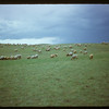 Co-op sheep under shepherd Ole Foss.  Eastend.  07/19/1950