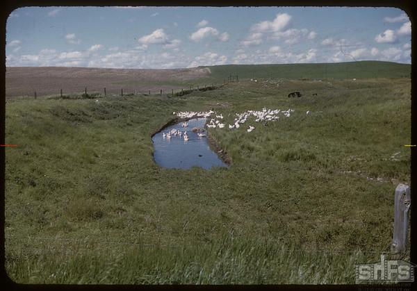 Bench Colony ducks.  Shaunavon.  07/13/1954
