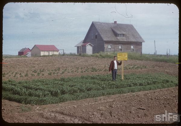 Jack Large standing in his variety test plot.  Shaunavon.  07/10/1954