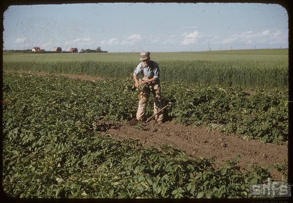 R. P. Robbins in potato patch..  Shaunavon.  07/19/1956
