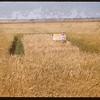 Gart Simpson's barley test plot.  Shaunavon.  08/20/1956