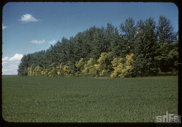 Changing colour - Hutterite old Sheldrup grove.  South Fork.  06/30/1957