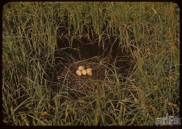 Floating nest..  Shaunavon.  06/17/1951