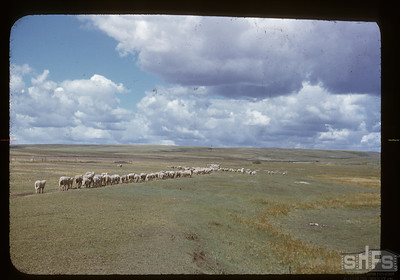Charles Cooper's flock of sheep, Admiral, 08/26/1950