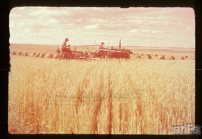 Ruest brothers harvesting frozen wheat, Admiral, 08/26/1950