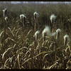 Bursting cattails.  Val Marie.  10/05/1954