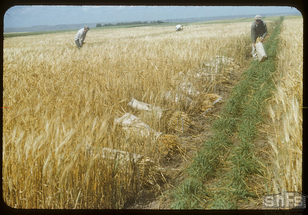 Harvesting heads at the Experimental Farm.  Swift Current.  08/19/1954