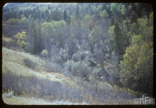 Beaver killing trees - north of Shaunavon Lease.  South Fork.  10/09/1954