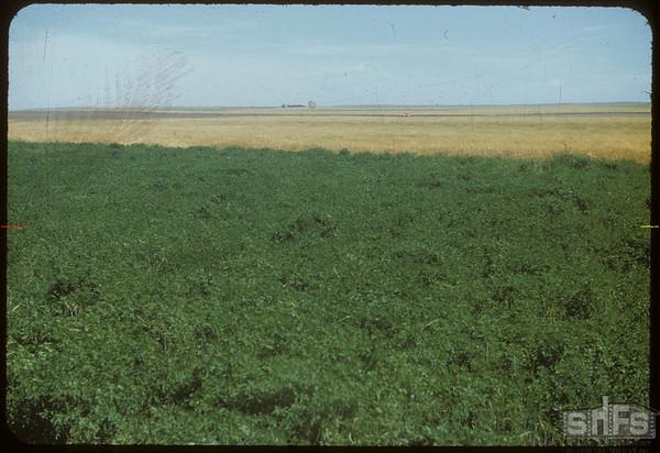 Olaf Nyland's alfalfa.  Shaunavon.  08/24/1954