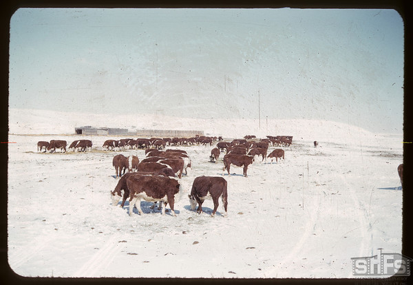 Cliff Olson's feeders.  Val Marie.  03/11/1960