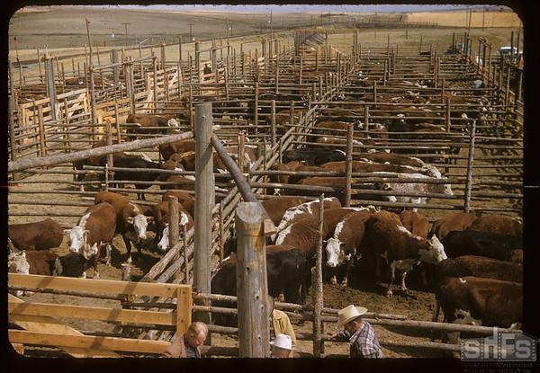 First sale in new livestock yards. Mankota.  08/28/1957