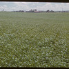 Wheat Field.  Scotsguard.  07/06/1951