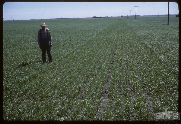 Anton Dynneson standing at line between fertilized and unfertilized wheat fields.  Shaunavon.  06/27/1966