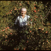 R. P. Robbins with crab apples..  Shaunavon.  09/08/1953