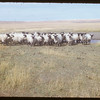 Claude Foster's Suffolk - Hampshire sheep.  Divide.  09/30/1953