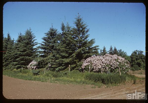 Herman Kemper's lilacs.  Stone P.O..  06/09/1952