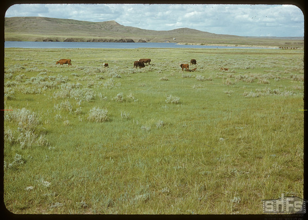 Bulls at west dam - White Mud River.  Val Marie.  06/21/1951